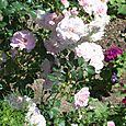 roses in studio garden